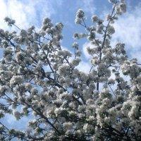 Белоснежное небо мая :: Елена Семигина