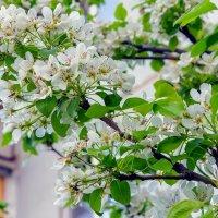 Цветущая ветка дерева :: Юрий Стародубцев