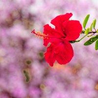 Гибискус цветёт :: Тарас Леонидов