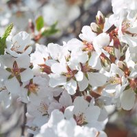 вишня цветет :: Седа Ковтун