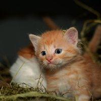 Вообще-то я тигр...но очень маленький... :: Александр Бойко