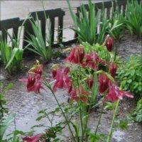 Весенний дождь подарил свежесть аквилегии :: Нина Корешкова