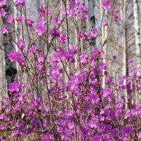 Опять весна... :: Татьяна Алферова