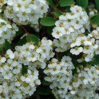 Спиреи пышное цветение... :: Тамара (st.tamara)