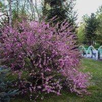 """""""Вишен цветы будто с небес упали — так хороши!""""  Кобаяси Исса (1768-1827) :: Надежда"""