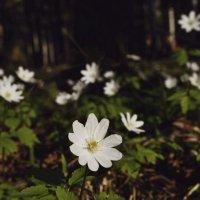 Весенние цветы :: Екатерина Таскаева