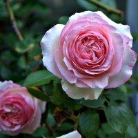 "Роза ""Иден Роуз"" (Eden Rose) :: Александр Корчемный"