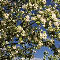 Когда яблони цветут... :: Игорь