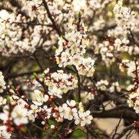 Весеннее цветение :: Denis Aksenov