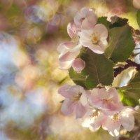 Яблони цветут... :: Юлия Холодкова