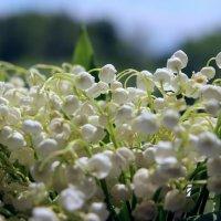 Ты сегодня мне принес, не букет из пышных роз , не тюльпаны и не лилии... :: leoligra