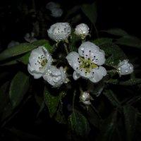 Аромат цветущей груши... :: Удивительное Рядом