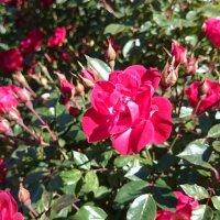 Roses :: Наталья