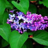 Красиво цветёт, приятно пахнет :: Милешкин Владимир Алексеевич