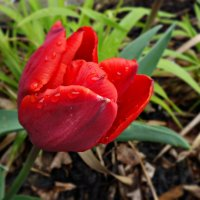 Гордый вид и строгий стан – Это солнечный тюльпан!! :: Galina Dzubina