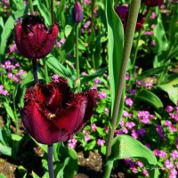Тюльпаны :: Nina Yudicheva