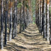 Лес чистый и сухой, лишь хвоя под ногами. (  Мирошникова И. ) :: Валентина ツ ღ✿ღ