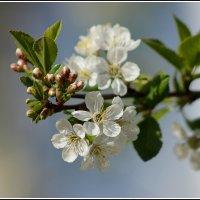 Весны цветение... :: victor Lion