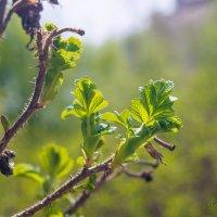 Молодые листья шиповника :: Виталий