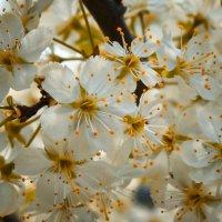 Цветение сливы :: Александр Беляков