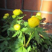 Нежные цветы  купальницы. :: Valentina
