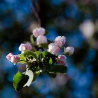 яблоня в цвету :: Мария Корнилова