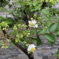 Пекин, цветы на деревьях :: Сергей Смоляр