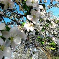 Яблони в цвету... :: An-na Salnikova