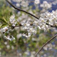 Весна в цвету 2 :: Елена Панькина