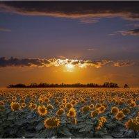 золотое поле :: олег кирюшкин