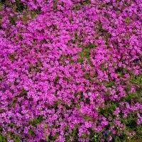 майские цветочные поляны 5 :: Александр Прокудин
