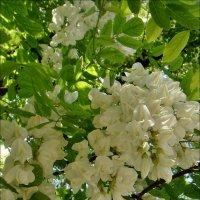 Витает аромат белой акации :: Нина Корешкова