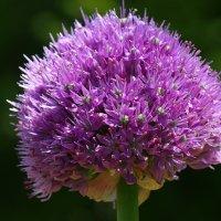 Фиолетовый шар :: Swetlana V