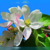 веточка яблони  по фото Н.Кузнецовой :: Владимир Хатмулин