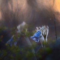 Этюд с сон-травой :: Сергей Брагин