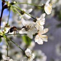 Тихо-тихо, - только слышно, как жужжит пчела… Никогда ещё так пышно вишня не цвела! :: Валентина ツ ღ✿ღ