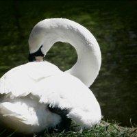 Лебедь :: оксана косатенко