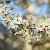 Вишня цветет :: Наталия Горюнова
