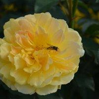 Розы :: Светлана Ларионова