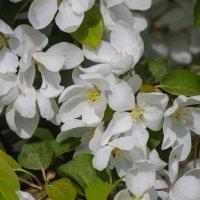 Цветы яблони :: Денис Матвеев