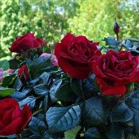 """""""Ах эти розы, их живая роскошь -  Отточен каждый нежный лепесток....""""(Вид с балкона) :: Galina Dzubina"""