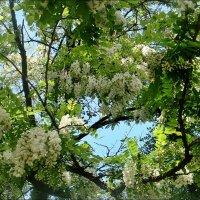 Упоительный аромат акаций разливается в нашем дворе :: Нина Корешкова