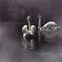 дикие лебеди :: Olena