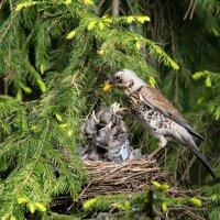 Гнездо дрозда :: Исаков Александр
