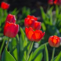 тюльпаны :: Сергей Резниченко