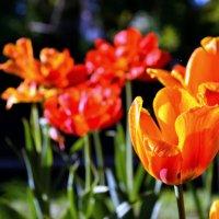 Московские тюльпаны. :: Елена