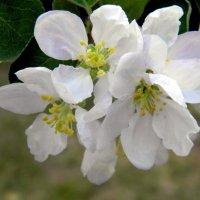Яблоневый цвет. :: Елена