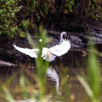 Крылья распластав,танцует брачный танец :: Nikolay Volkov