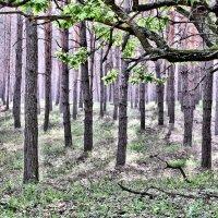 В сосновом лесу. :: Валентина ツ ღ✿ღ