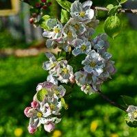 Яблони в цвету!!!!  какое счастье!! :: Валентина Папилова